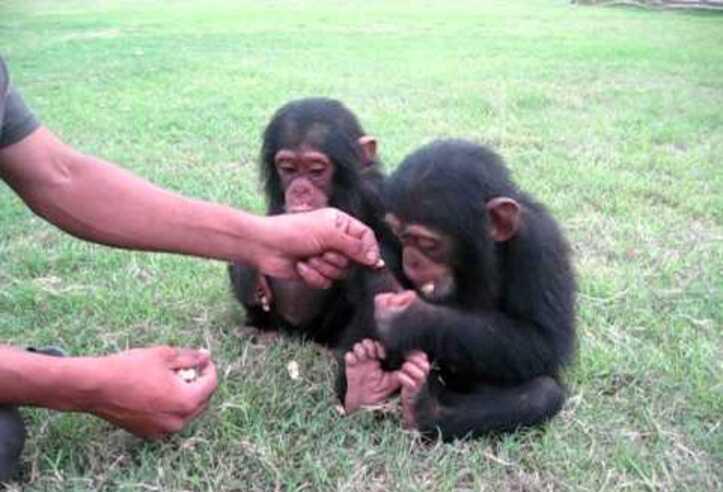 Chimpancés y monos para la venta