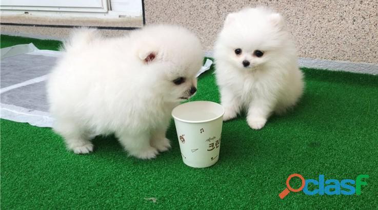 Blancanieves cachorros de pomerania.