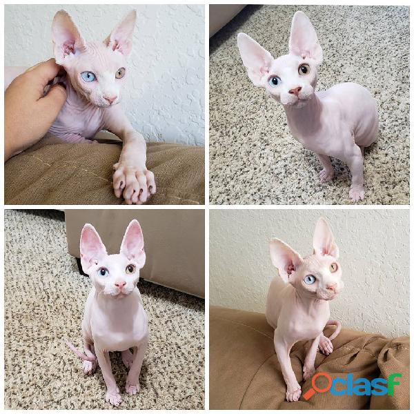 Hermosos gatitos Sphynx para la venta a casa encantadora