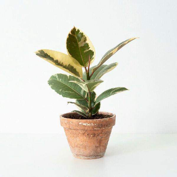Ficus elastica tineke ( más plantas en mi perfil