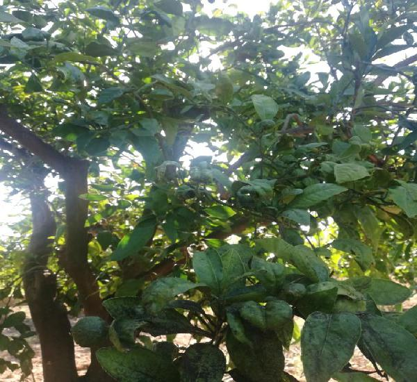 Venta de campo de naranjos clemenvilla en valencia