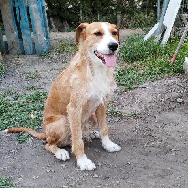 Amigo - perro en adopción