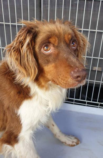 Ares - perro en adopción