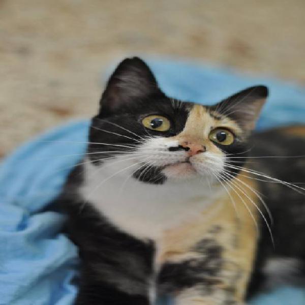 Caty - gato en adopción