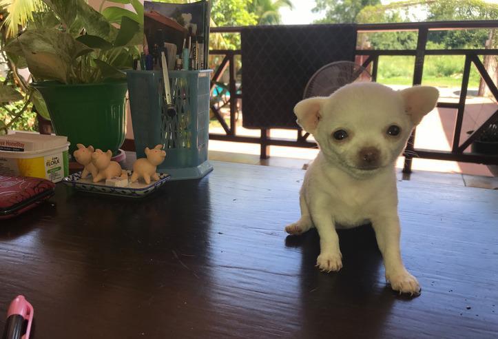 Chihuahua macho cachorro para la venta