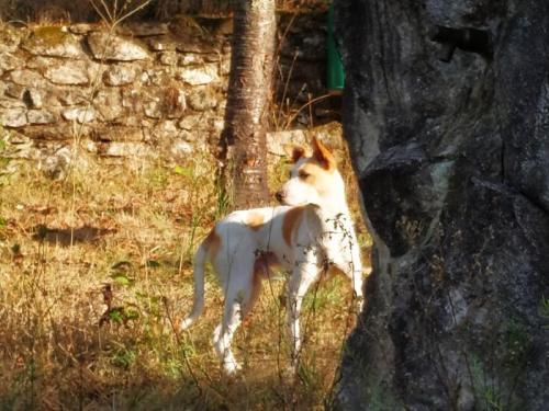 Chino - perro en adopción