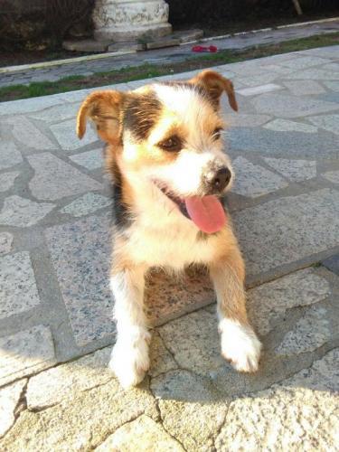 Crispis - perro en adopción