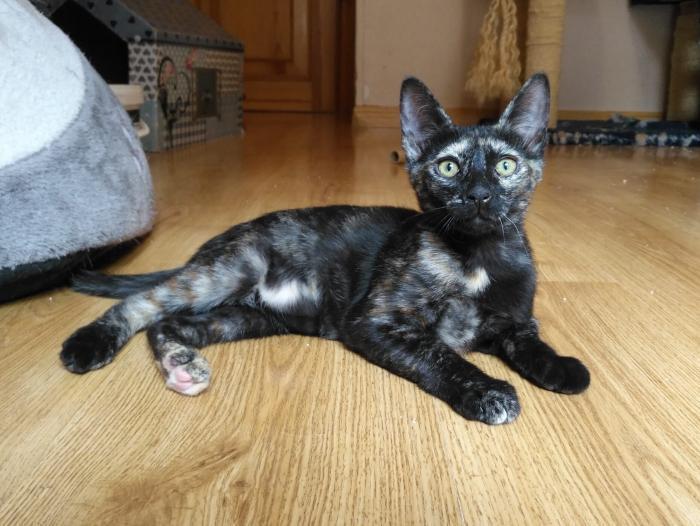 Ena - gato en adopción