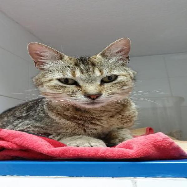 Eyra - gato en adopción