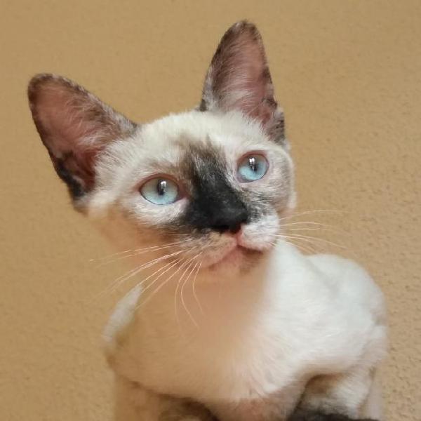 Gina - gato en adopción