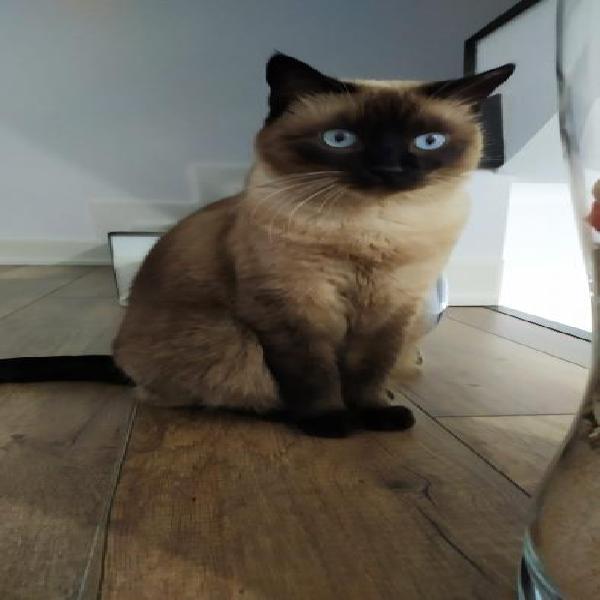 Gatita siamesa - gato en adopción