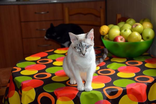 Gracia - gato en adopción