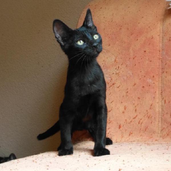 Hoshi - gato en adopción