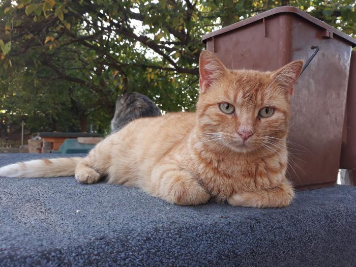 Isidoro - gato en adopción