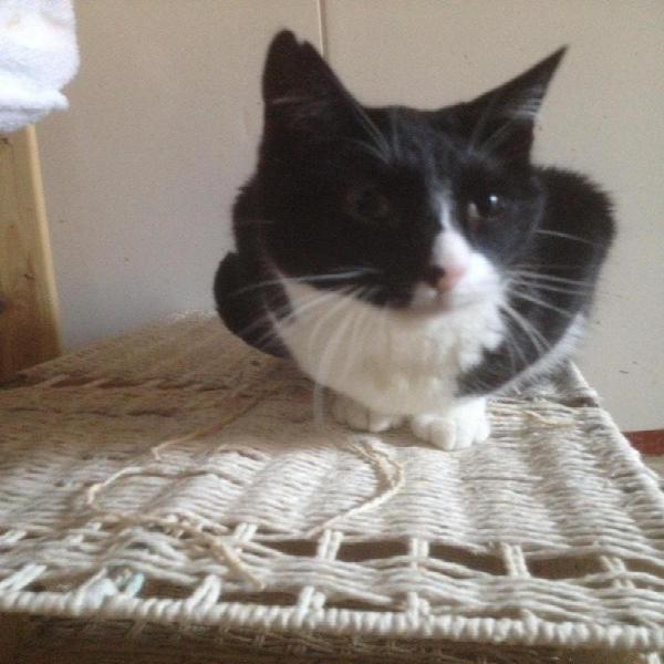 Julia un bombón - gato en adopción