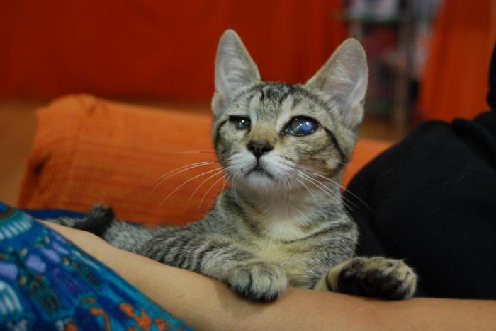 Jyn - gato en adopción