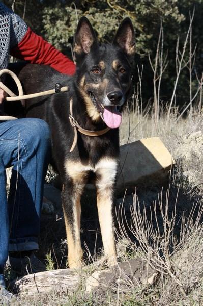 Llop - perro en adopción