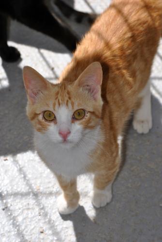 Luisito - gato en adopción