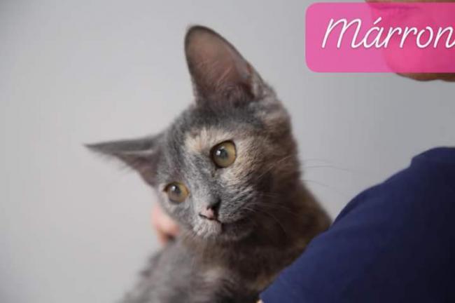 Marrón y merry - gato en adopción