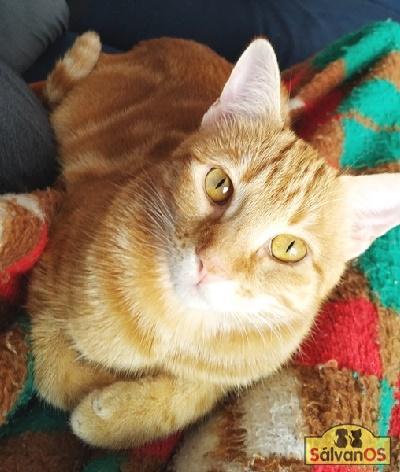 Niki - gato en adopción