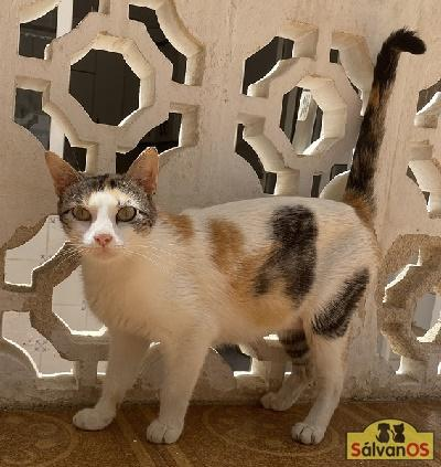 Perla (camada perla) - gato en adopción
