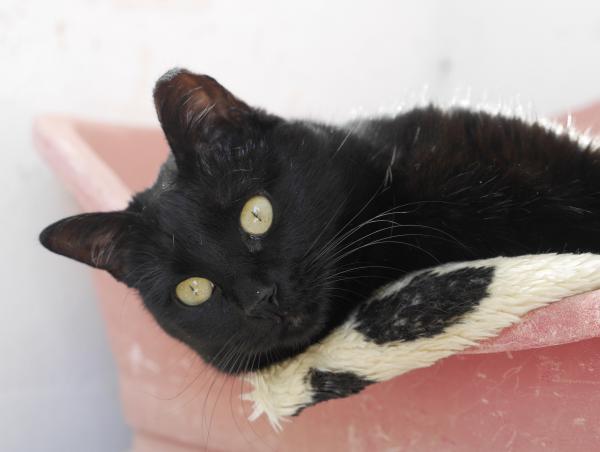 Perla (en control de adopción) - gato en adopción