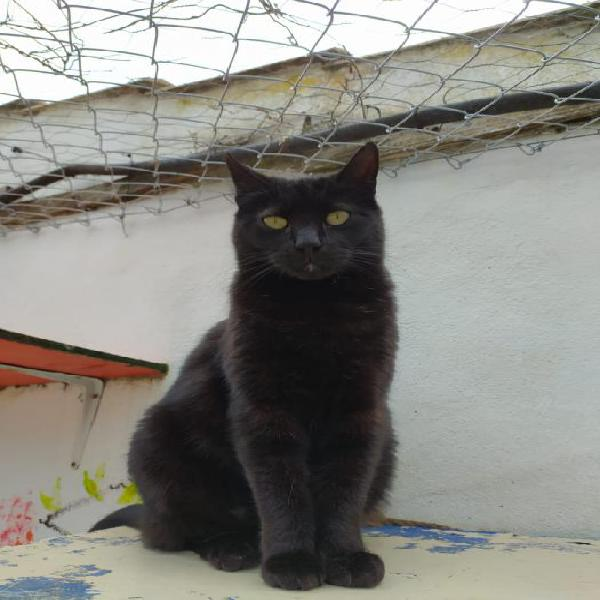 Pío - gato en adopción