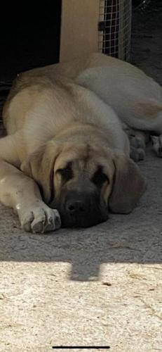 Santo - perro en adopción
