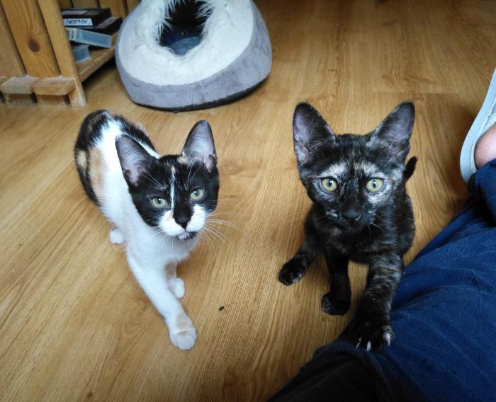 Suki - gato en adopción