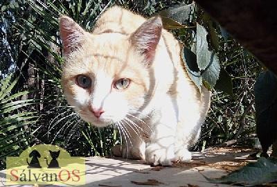 Silas - gato en adopción