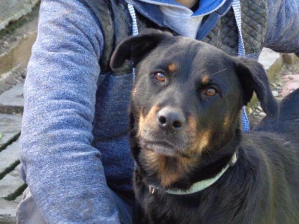Troya merece una familia - perro en adopción
