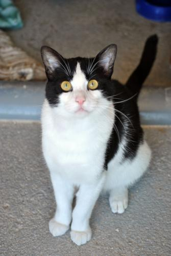 Valentin - gato en adopción