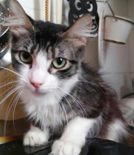 Vega - gato en adopción