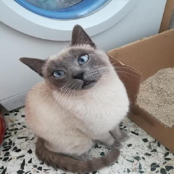 Zar - gato en adopción