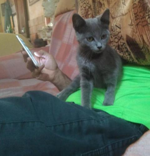 Ruso - gato en adopción