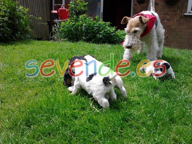 Fox terriers de pelo de alambre de calidad