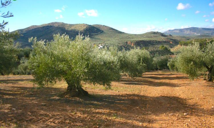 Venta de finca de olivos en jaén