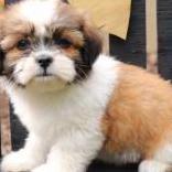 Amorosos cachorros de shih tzu