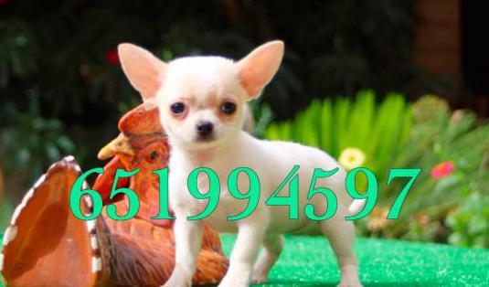 Chihuahua pura raza