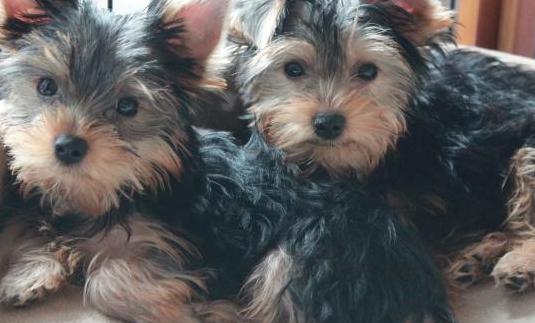 Cachorro de yorkshire toy macho y hembra