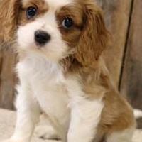 Cachorros cavalier king pedigree enci