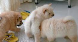 Cachorros chow chow para adopción