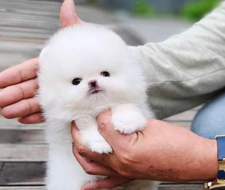 Cachorros micro pomerania en