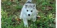Cachorros de pura raza husky siberiano