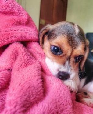 Disponible cachorro beagle