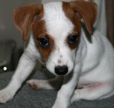 Impresionantes cachorros de jack russell terrier