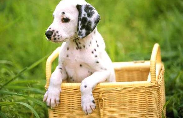 Microchip y vacunas para perros en asturias
