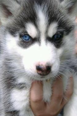 Pura raza cachorro de husky siberiano hermoso