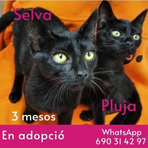 Selva i pluja - gato en adopción
