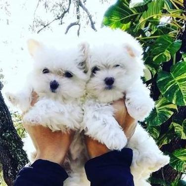 Tengo dos cachorros maltés taza de